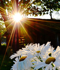 daisies in the sun photo